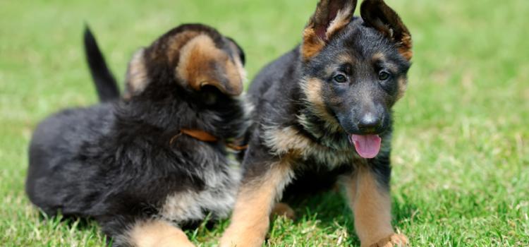 Adotta un cucciolo di pastore tedesco: ecco a chi puoi rivolgerti